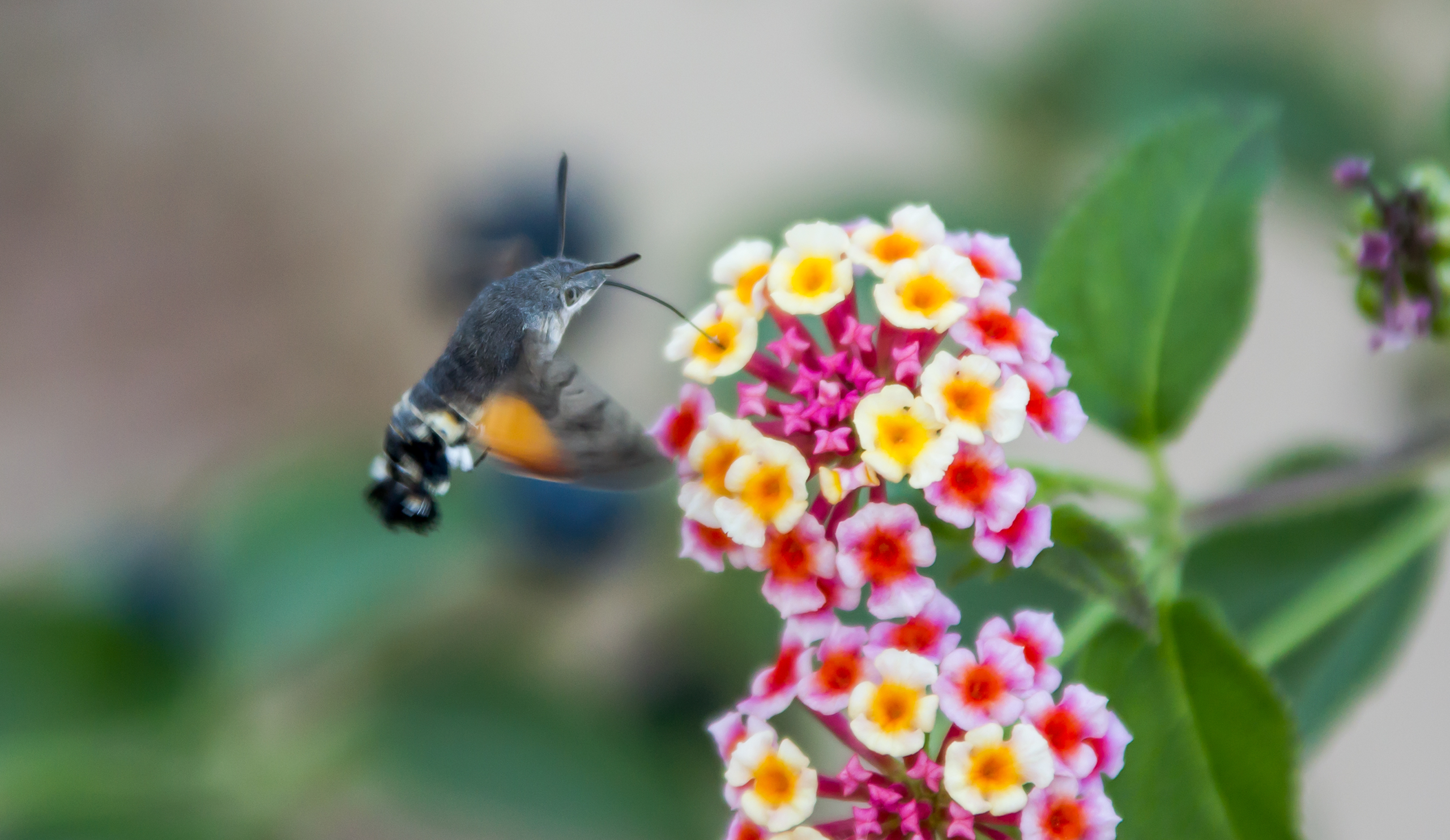 sfinge colibrì sardegna